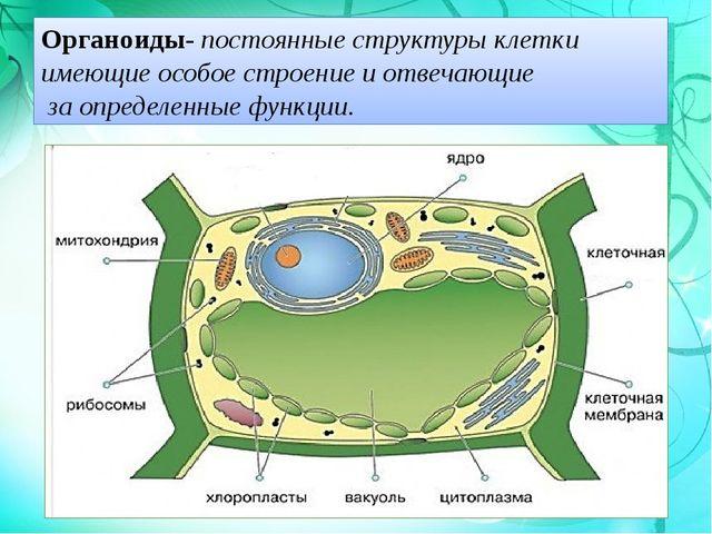 Органоиды- постоянные структуры клетки имеющие особое строение и отвечающие з...