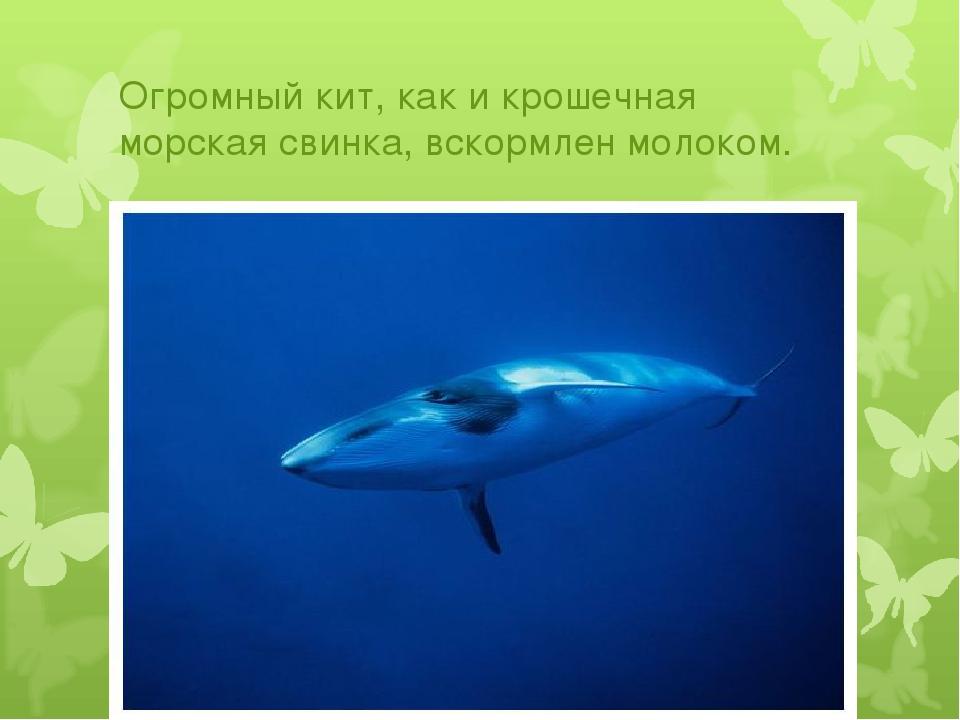 Огромный кит, как и крошечная морская свинка, вскормлен молоком.