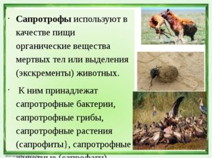 Сапротрофы используют в качестве пищи органические вещества мертвых тел или в