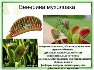 Венерина мухоловка А венерина мухоловка, обладая уникальным приспособлением д