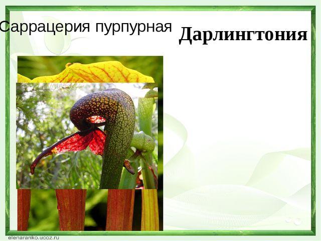 Саррацерия пурпурная Дарлингтония