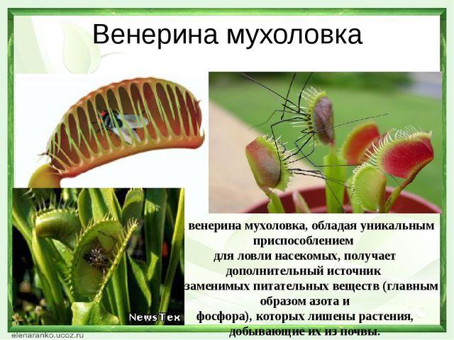 Венерина мухоловка А венерина мухоловка, обладая уникальным приспособлением д...