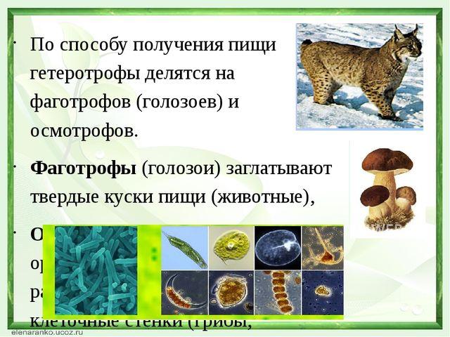По способу получения пищи гетеротрофы делятся на фаготрофов (голозоев) и осмо...