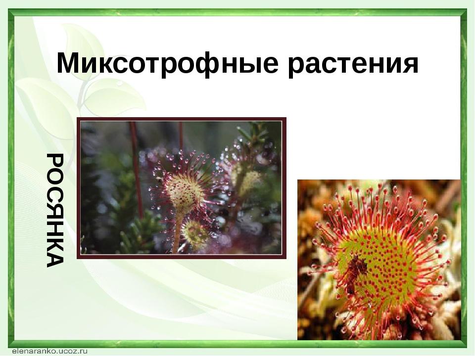 Миксотрофные растения РОСЯНКА