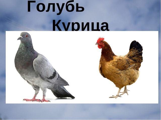 Голубь Курица