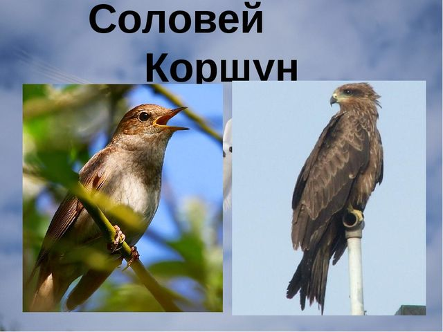 Соловей Коршун