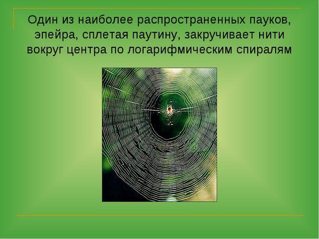 Один из наиболее распространенных пауков, эпейра, сплетая паутину, закручивае...