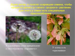 Дунет ветер, и полетят созревшие семена, чтобы прорасти далеко от своего «род