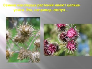 Семена некоторых растений имеют цепкие усики. Это, например, лопух…