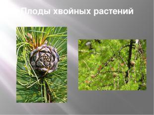Плоды хвойных растений