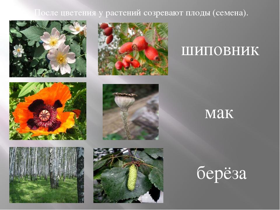 После цветения у растений созревают плоды (семена). шиповник мак берёза