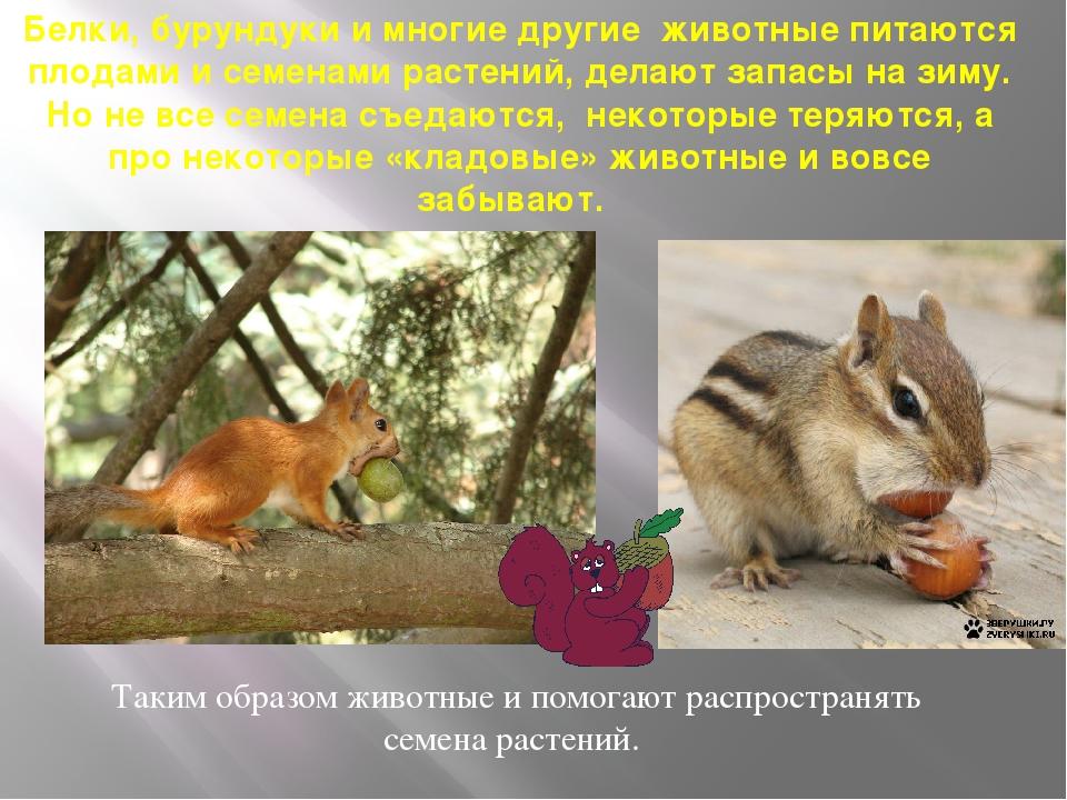 Белки, бурундуки и многие другие животные питаются плодами и семенами растени...