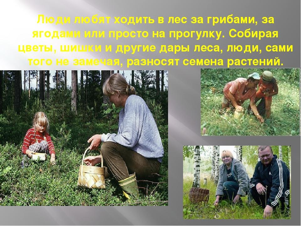 Люди любят ходить в лес за грибами, за ягодами или просто на прогулку. Собира...