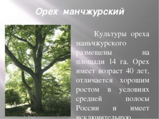 Орех манчжурский Культуры ореха маньчжурского размещены на площади 14 га. Ор