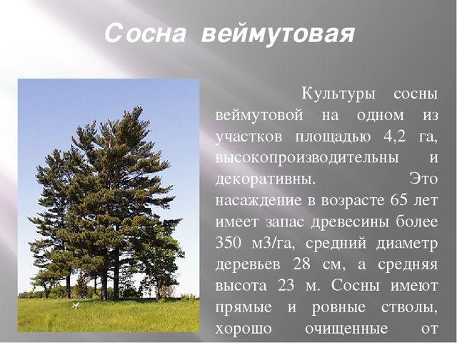 Сосна веймутовая Культуры сосны веймутовой на одном из участков площадью 4,...