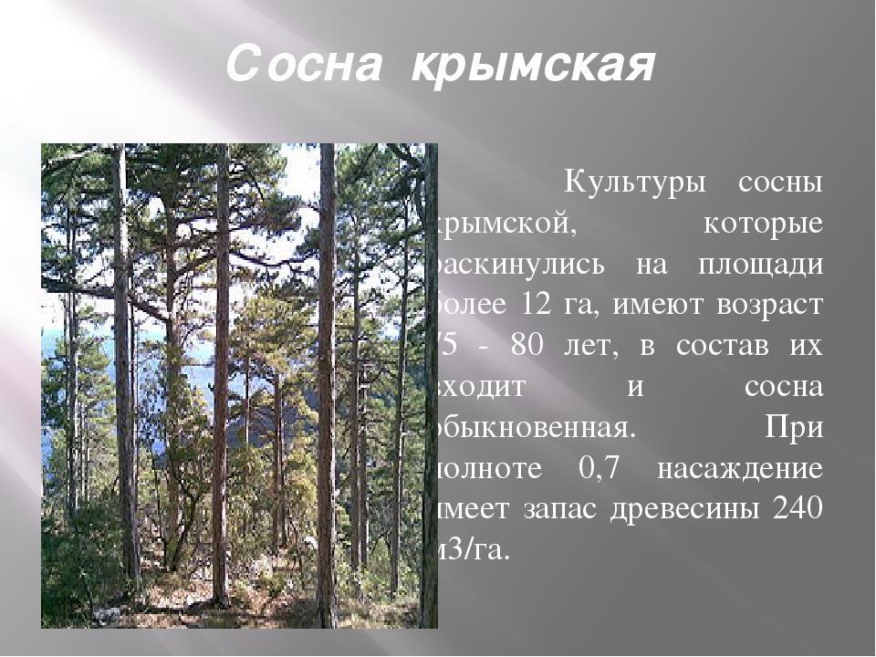 Сосна крымская Культуры сосны крымской, которые раскинулись на площади более...