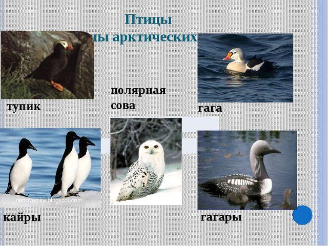 Птицы зоны арктических пустынь тупик кайры гага гагары полярная сова