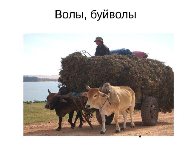 Волы, буйволы