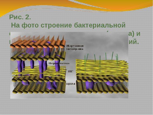 Рис. 2. На фото строение бактериальной стенки грамположительных (справа) и гр...