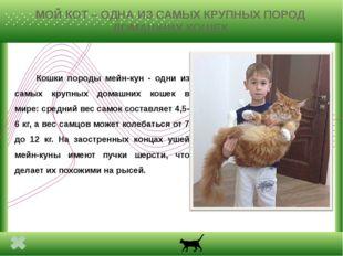 МОЙ КОТ – ОДНА ИЗ САМЫХ КРУПНЫХ ПОРОД ДОМАШНИХ КОШЕК Кошки породы мейн-кун -