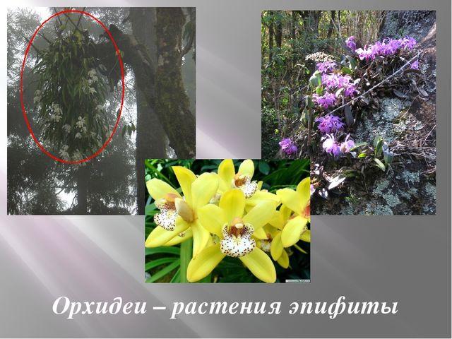 Орхидеи – растения эпифиты
