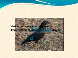 Загадка Что за весенняя чёрная птица Трактору чуть ли на нос не садится.