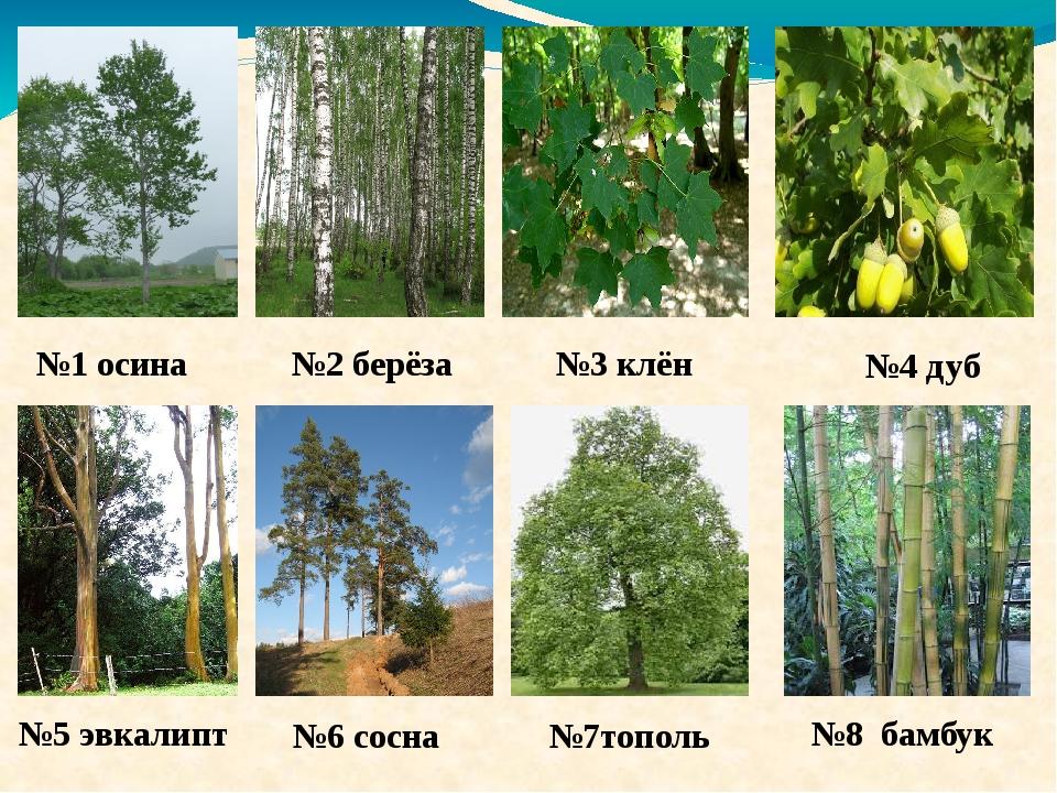 №3 клён №1 осина №2 берёза №4 дуб №5 эвкалипт №7тополь №6 сосна №8 бамбук