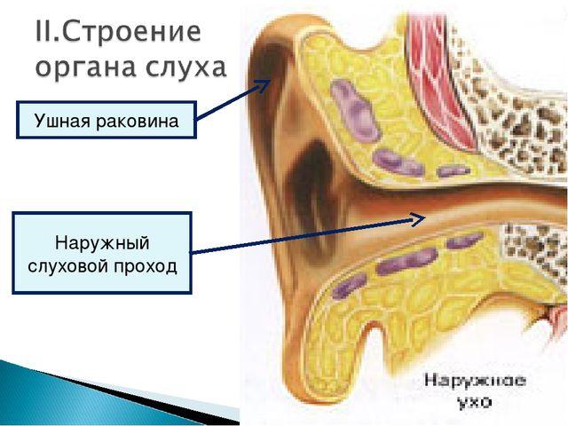 Ушная раковина Наружный слуховой проход