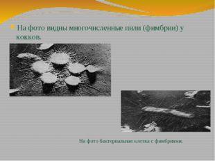 На фото видны многочисленные пили (фимбрии) у кокков. На фото бактериальная