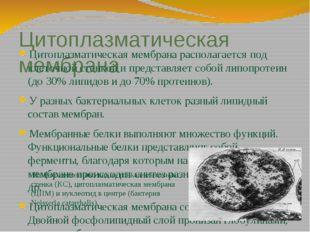 Цитоплазматическая мембрана Цитоплазматическая мембрана располагается под кле