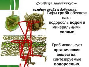 Гифыгрибаобеспечивают водоросльводой и минеральными солями Гриб использует