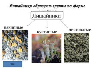 Лишайники образуют группы по форме слоевища Лишайники накипные листоватые кус