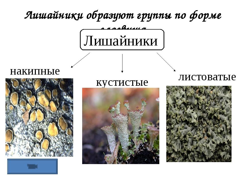 Лишайники образуют группы по форме слоевища Лишайники накипные листоватые кус...