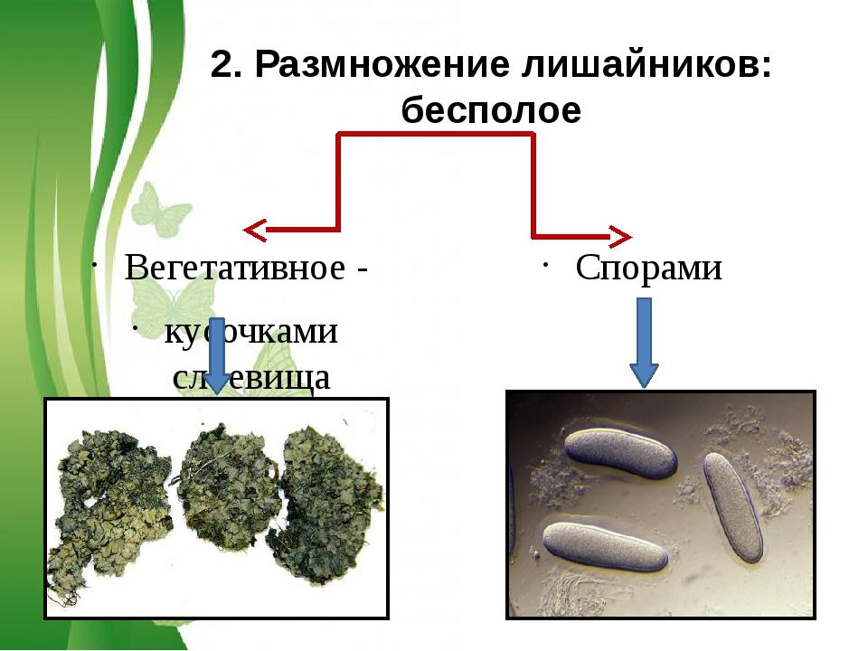 Вегетативное - кусочками слоевища Спорами 2. Размножение лишайников: бесполое