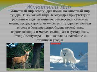 Животный мир Животный мир лесотундры похож на животный мир тундры. В животном