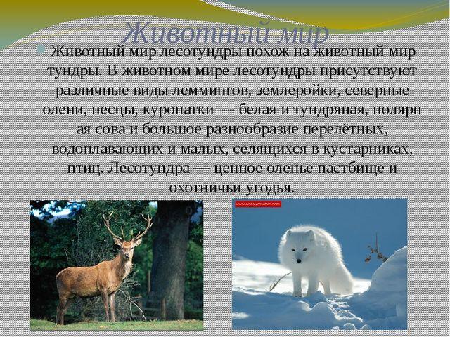 Животный мир Животный мир лесотундры похож на животный мир тундры. В животном...