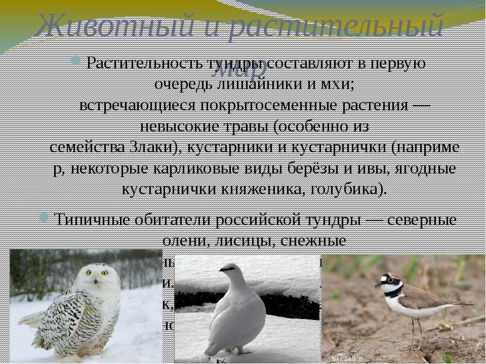 Животный и растительный мир Растительность тундры составляют в первую очередь...