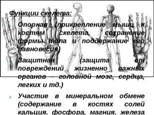 Функции скелета: Опорная (прикрепление мышц к костям скелета, сохранение форм