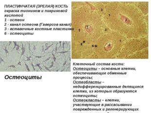 ПЛАСТИНЧАТАЯ (ЗРЕЛАЯ) КОСТЬ окраска тионином и пикриновой кислотой 1 - остео