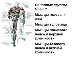 Основные группы мышц: Мышцы головы и шеи Мышцы туловища Мышцы плечевого пояса