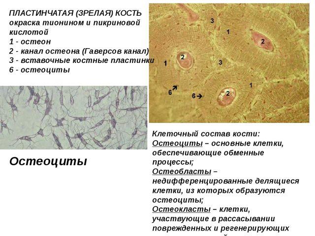 ПЛАСТИНЧАТАЯ (ЗРЕЛАЯ) КОСТЬ окраска тионином и пикриновой кислотой 1 - остео...