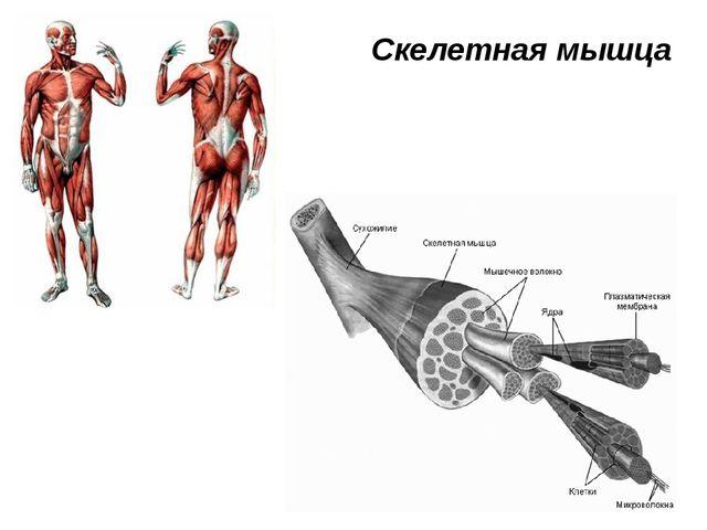Скелетная мышца