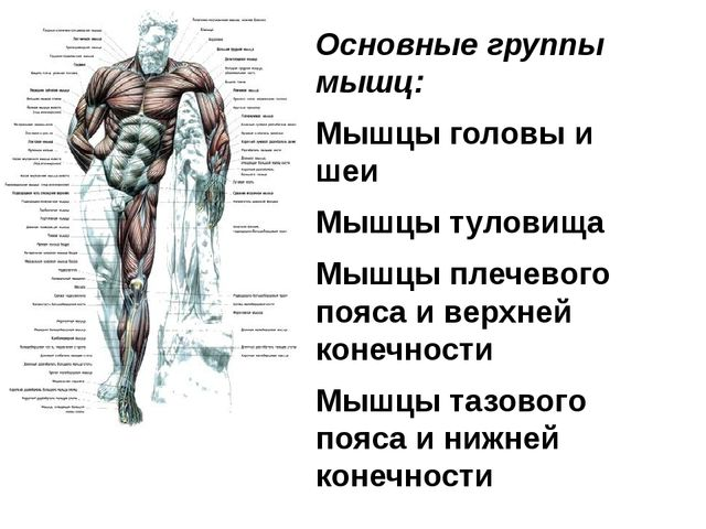 Основные группы мышц: Мышцы головы и шеи Мышцы туловища Мышцы плечевого пояса...