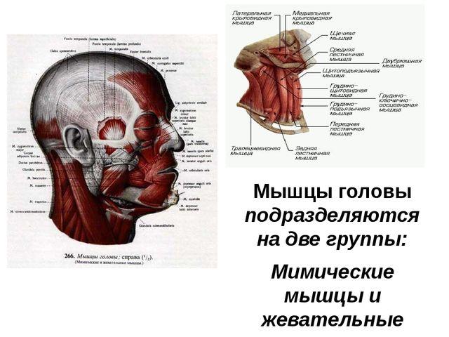 Мышцы головы подразделяются на две группы: Мимические мышцы и жевательные мыш...