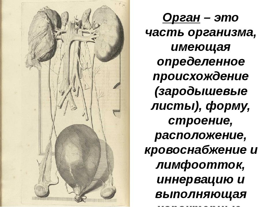 Орган – это часть организма, имеющая определенное происхождение (зародышевые...