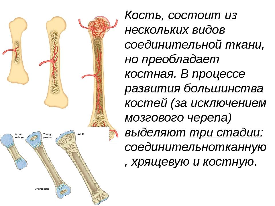 Кость, состоит из нескольких видов соединительной ткани, но преобладает костн...