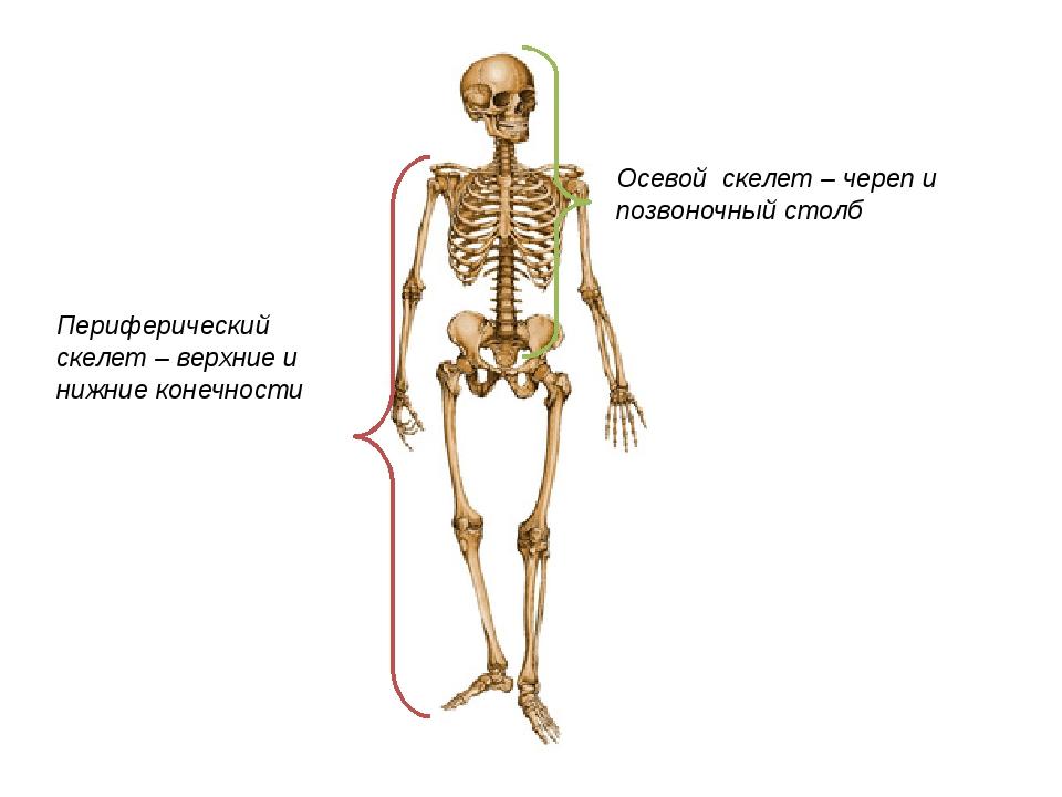 Осевой скелет – череп и позвоночный столб Периферический скелет – верхние и...
