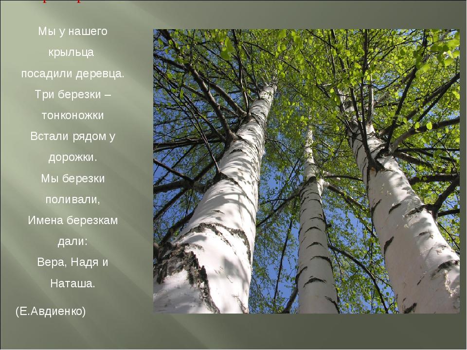 Три березки Мы у нашего крыльца посадили деревца. Три березки – тонконожки Вс...
