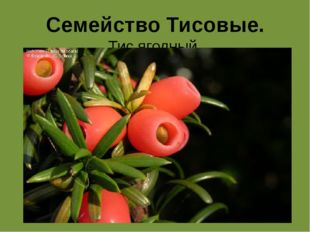 Семейство Тисовые. Тис ягодный.