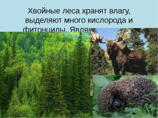Хвойные леса хранят влагу, выделяют много кислорода и фитонциды. Являются мес